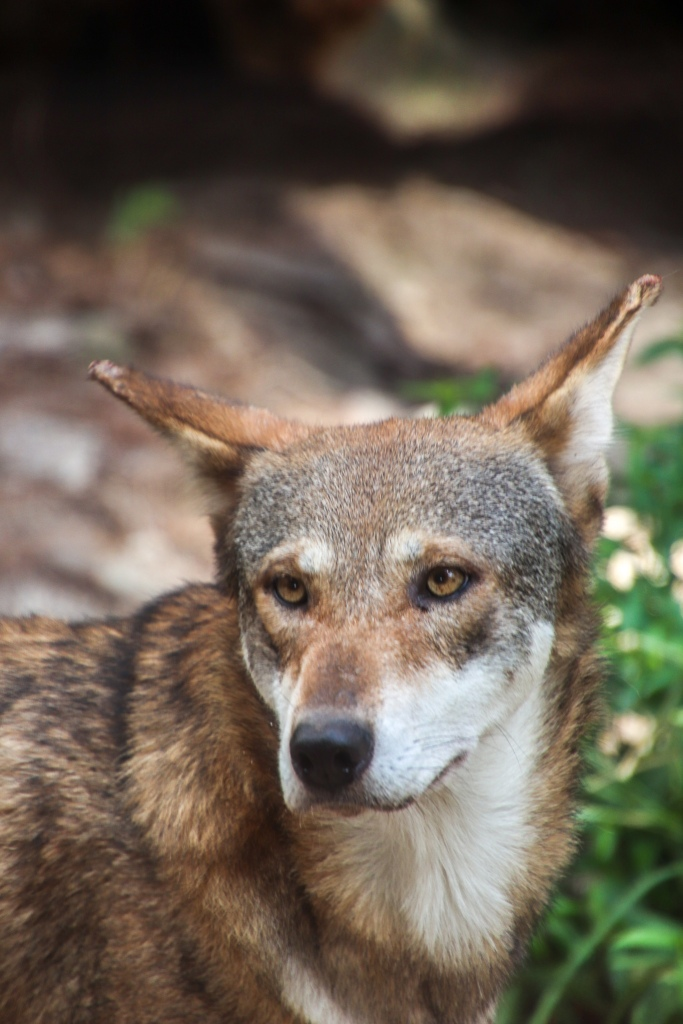 ZooTampa, Red Wolf, Endangered,