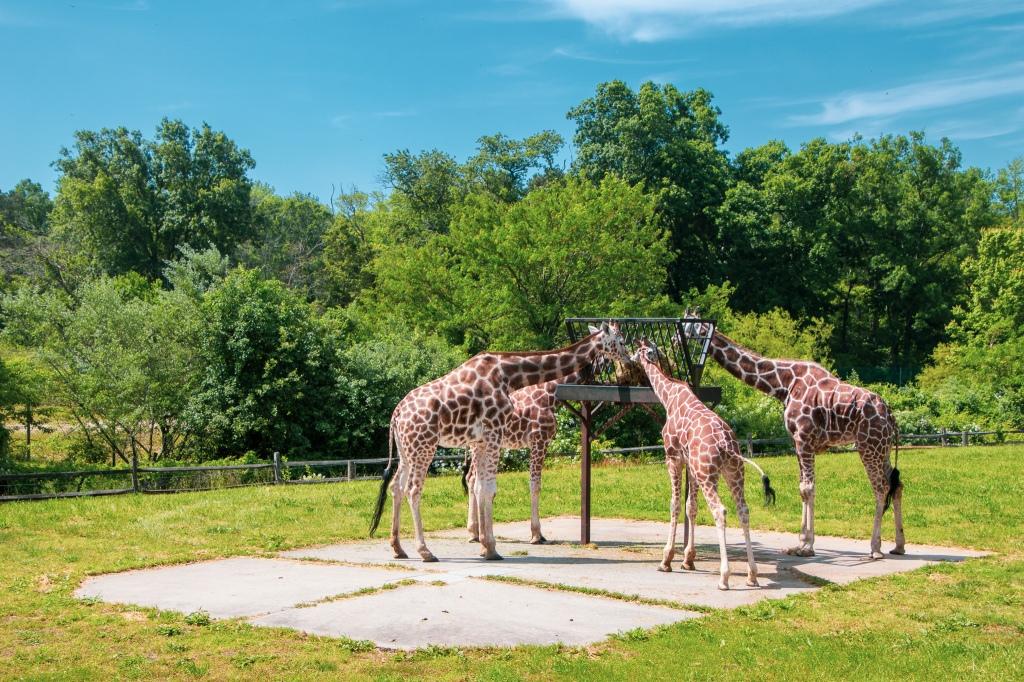 Giraffe feeding, Cape May County Zoo, New Jersey, Jersey Shore, z00, animals