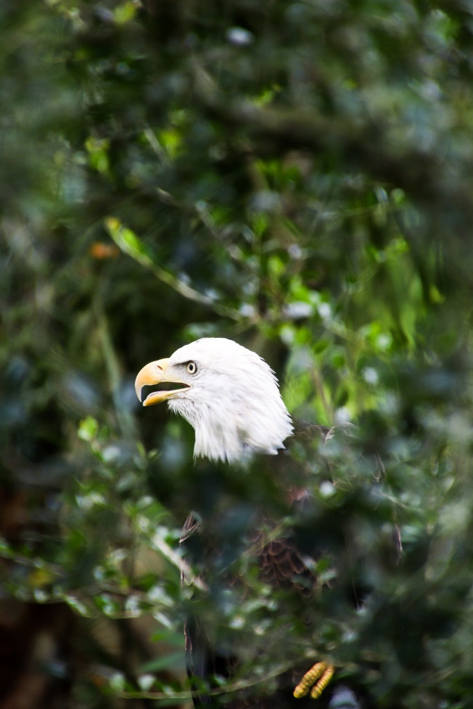 eagle, nature, wildlife,