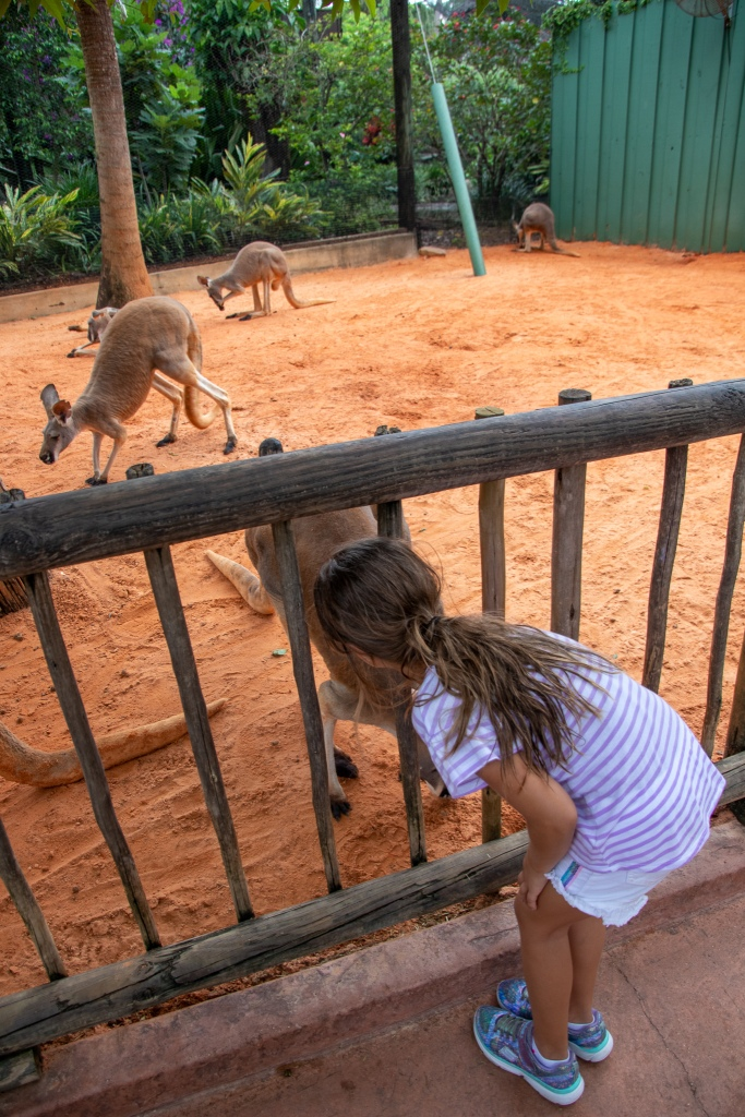 Kangaroo, Busch Gardens, Tampa, Florida, theme park, zoo,