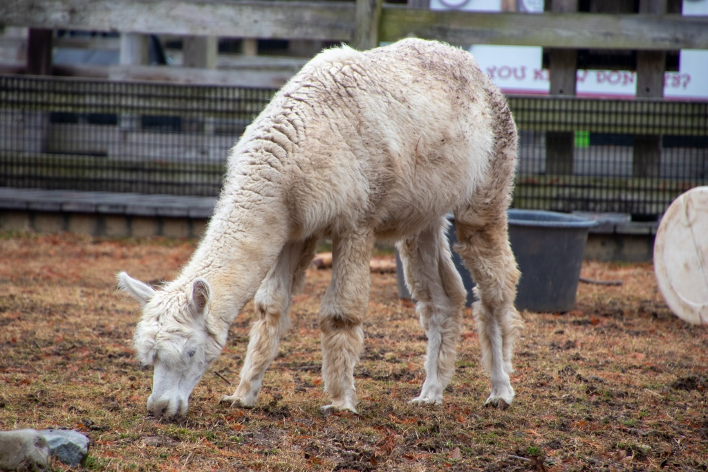 National Zoo, Free, Smithsonian, Washington DC, Capital, Animals, llama, Alpaca,