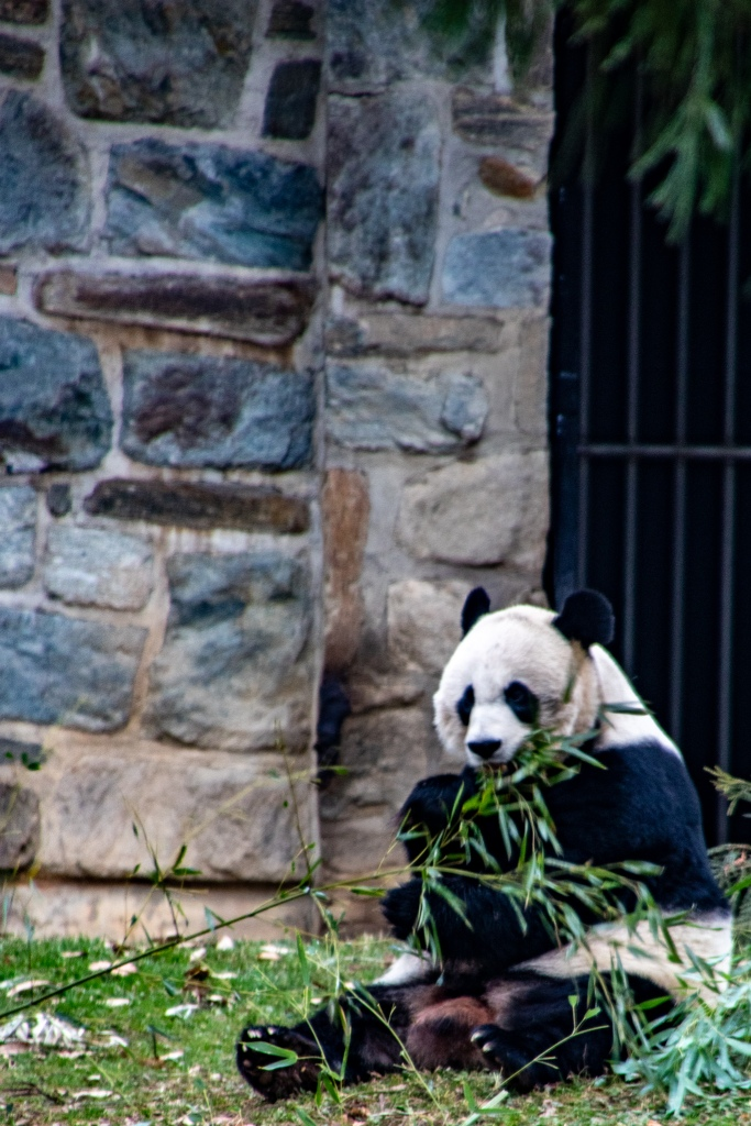 Giant Pandas, National Zoo, Free, Smithsonian, Washington DC, Capital, Animals,