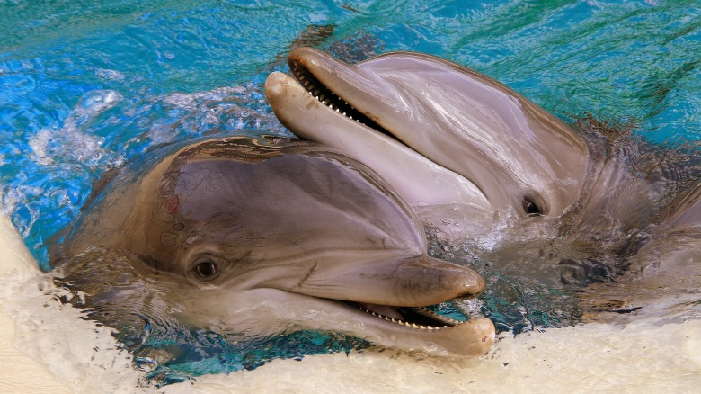 Las Vegas, Dolphins at the Secret Garden and Dolphin Habitat at the Mirage.