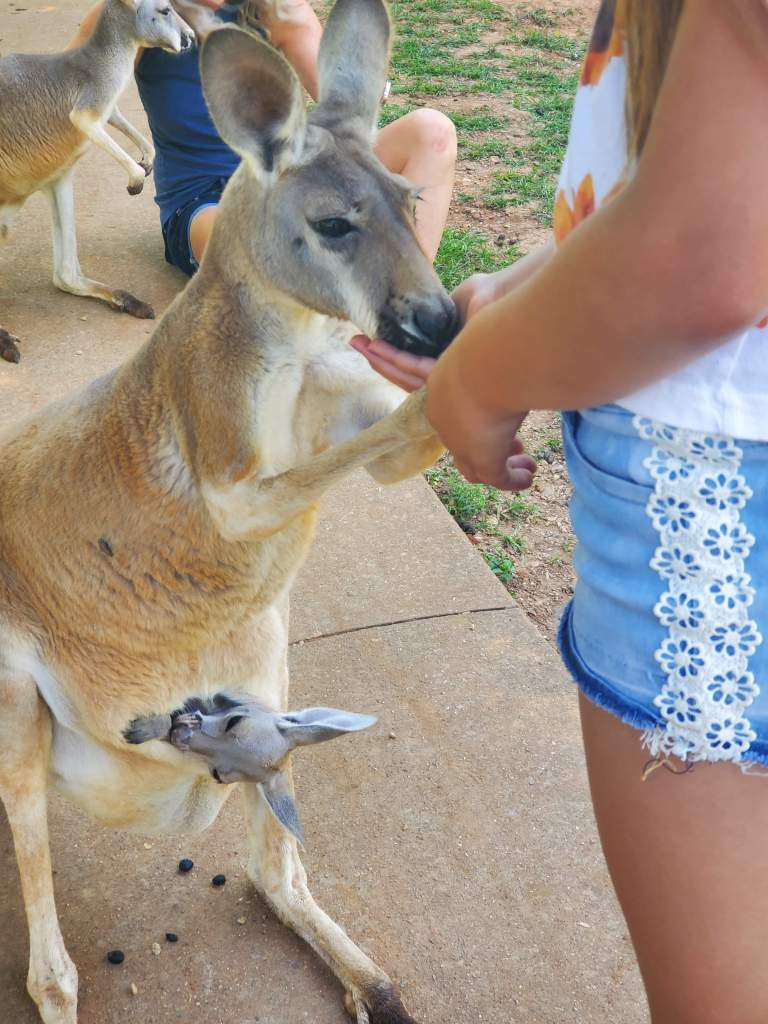 Feeding a kangaroo with a joey in it's pouch at Kentucky Down Under