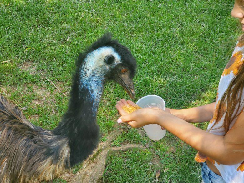 feeding an emu at Kentucky Down Under