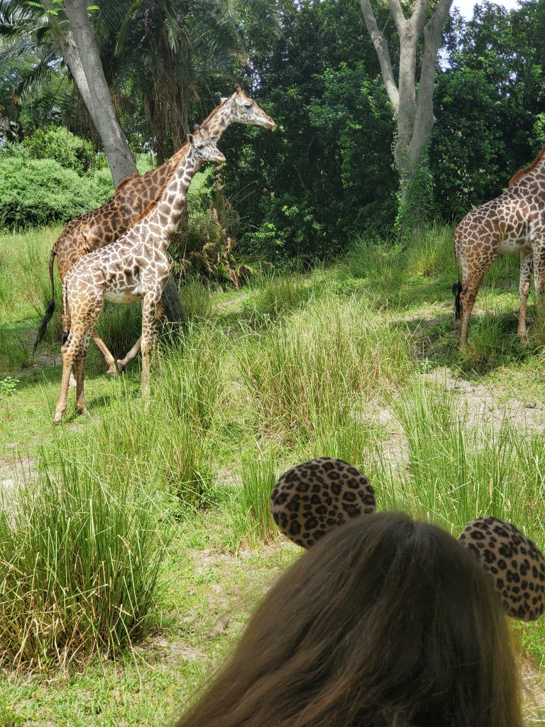Giraffes from Kilimanjaro Safaris