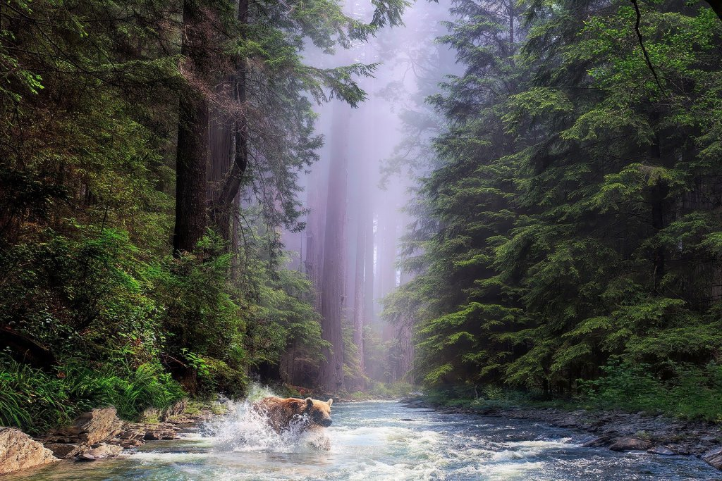 bear, water, stream, redwoods, California,