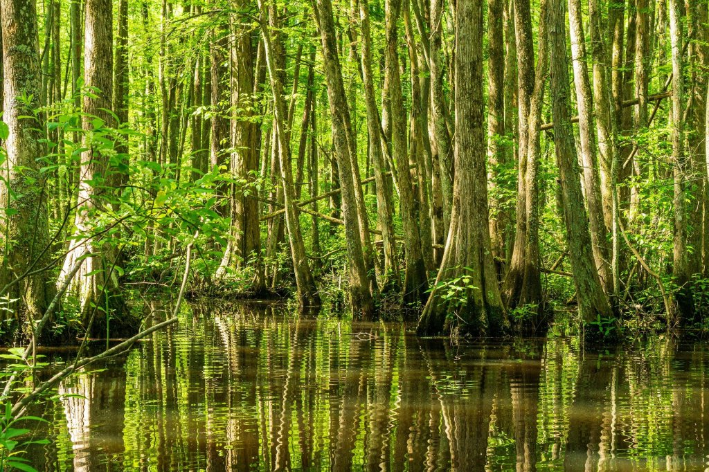 cypress swamp, Mississippi,