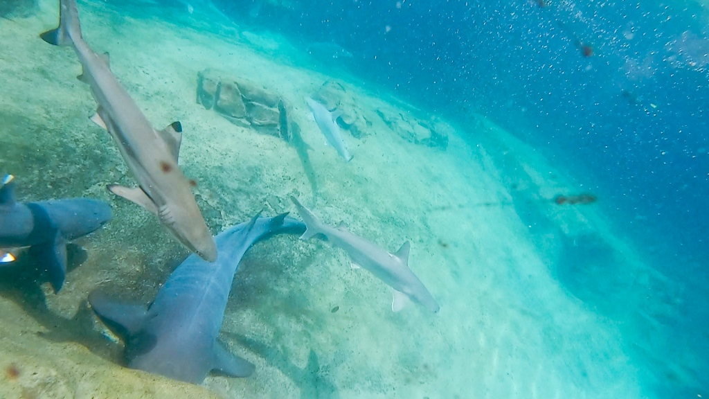 Discovery Cove, Florida, Orlando, sharks, reef sharks, underwater,